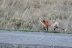 fox in Gunnison, Crested Butte