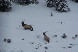 hunting in gunnison for elk